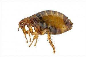 Flea Pest Control Columbia SC